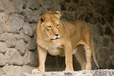 Free African Lion Stock Photo - 9952800