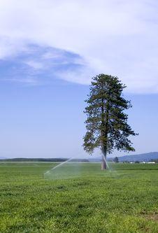 Pine Tree In Farm Field. Stock Image