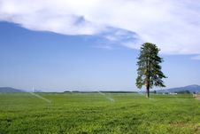 Lone Pine Tree In Farm Field. Stock Photography