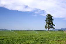 Free Lone Pine Tree In Farm Field. Stock Photography - 9953212