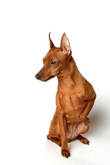 Free Red Miniature Pinscher On White Background Royalty Free Stock Images - 9953379
