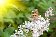 Free Painted Lady On Lilac Stock Photos - 9953423