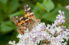 Painted Lady On Lilac Stock Photos