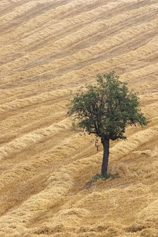 The Pear Tree In The Wheat Field. Stock Image