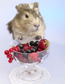 Free Guinea Pig S Breakfast Royalty Free Stock Photo - 9955195