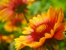 Free Red Daisies Royalty Free Stock Photo - 9955225