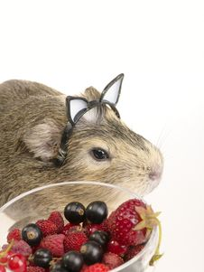 Free Guinea Pig S Breakfast Stock Photography - 9955462