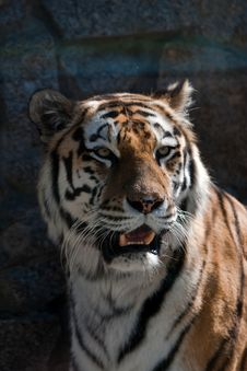Free Tiger Stock Photos - 9955503