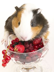 Free Guinea Pig S Breakfast Stock Photos - 9955783