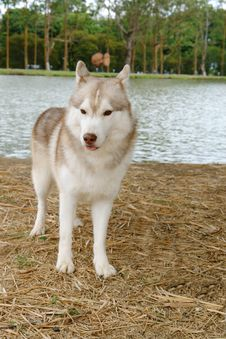 Free Husky Stand Stock Photography - 9955882