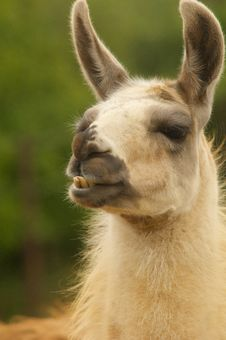 Free Staring Llama Stock Photo - 9958580
