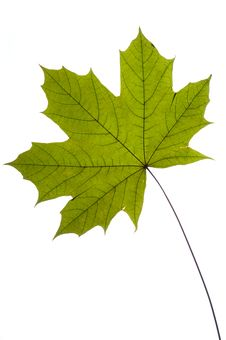 Free Dry Green Maple Tree Leaf Royalty Free Stock Images - 9958759
