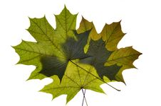 Free Dry Green Maple Tree Leaf Royalty Free Stock Photography - 9958777