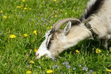 Free Nanny Goat Grazes In The Green Field Royalty Free Stock Photos - 9959048
