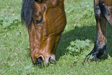 Brown Horse Feeding Stock Photography