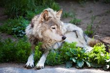Free Wolf Royalty Free Stock Photos - 9959518