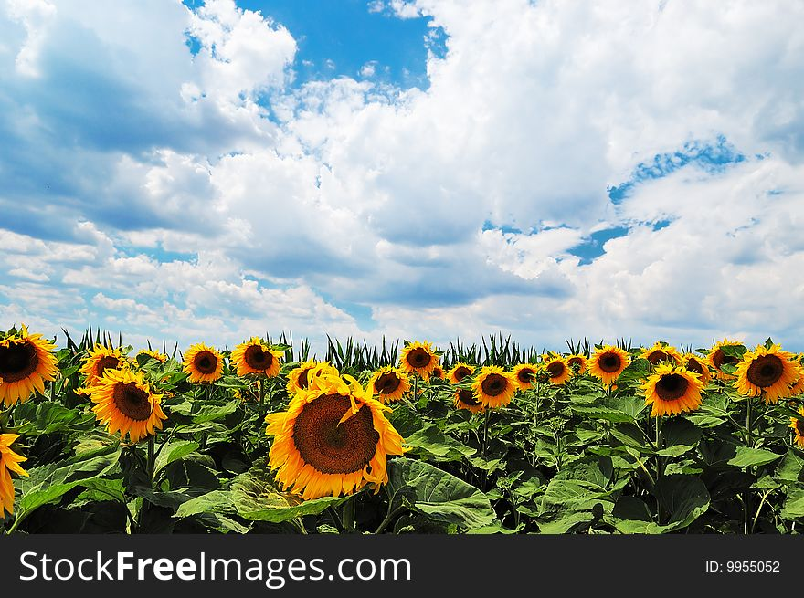 Sunflowers field with cloudy sky