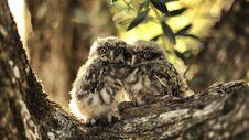 Free Pygmy Owls Royalty Free Stock Photography - 99545727