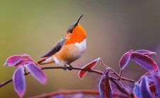 Free Small Songbird On Branch Royalty Free Stock Images - 99545779