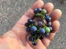Free More Wild Arizona Grapes To Munch On Royalty Free Stock Photo - 99545835
