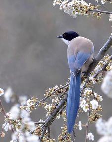 Free Beautiful Songbird Royalty Free Stock Photography - 99545997