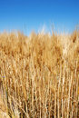 Free Wheat Ears Royalty Free Stock Images - 9966619