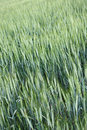 Free Green Wheat Field Royalty Free Stock Images - 9968869