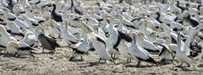 Free Cape Gannets Morus Capensis South Africa Royalty Free Stock Images - 9960069