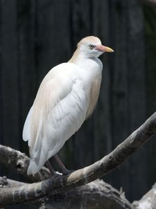A Cattle Egret Bubulcus Ibis Stock Photography