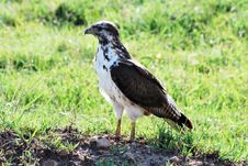 Free African Buzzard Stock Photo - 9960690