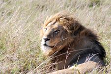 Free Lion Resting Royalty Free Stock Photography - 9960777
