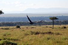 Free Vulture In Flight Royalty Free Stock Photography - 9960857