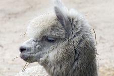 Free The Llama Lama Glama Stock Photo - 9960890