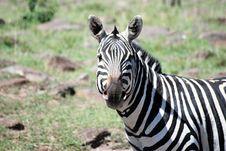 Free Zebra Stock Images - 9960924