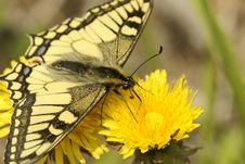 Free Butterfly Swallowtail (Papilio Machaon) Royalty Free Stock Photos - 9961078
