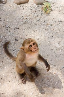 Free Ape Royalty Free Stock Photo - 9961095