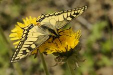 Free Butterfly Swallowtail (Papilio Machaon) Stock Image - 9961151