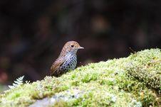 Free Formosan Pygmy Wren Babbler Stock Image - 9961261