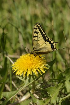Free Butterfly Swallowtail (Papilio Machaon) Royalty Free Stock Photos - 9961418