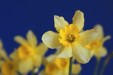 Free Yellow Narcissus On Blue Background Royalty Free Stock Photography - 9961997