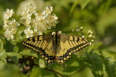 Free Butterfly Swallowtail (Papilio Machaon) Royalty Free Stock Photos - 9962128
