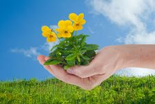 Free Hand Holding Pansies Royalty Free Stock Photo - 9962705