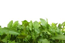 Free Fresh  Rucola Royalty Free Stock Images - 9962849