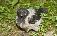Free Crow-nestling Stock Photo - 9963070