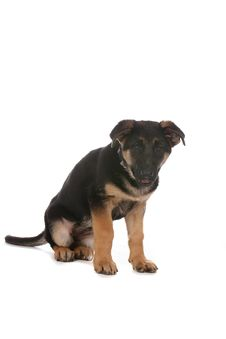 Free Cute Tan And Black German Shepherd Puppy Stock Photography - 9965352