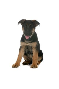 Cute Little German Shepherd Puppy With Tongue Out Royalty Free Stock Image