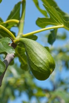 Free Green Fig On A Tree Stock Photo - 9966140