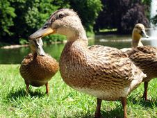 Free Ducks Royalty Free Stock Photos - 9967898