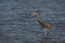 Free Reddish Egret (Egretta Rufescens Rufescens) Stock Photo - 9968630