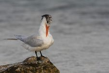 Free Royal Tern (Thalasseus Maximus Maximus) Stock Images - 9968694